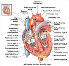 Internnal diagram heart internal diagram heart internal structure slide0088image004g 304290 anatomyanatomy reference ccuart Images