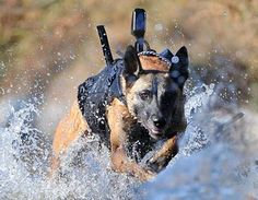 Navy Seal Dogs Captured Bin Laden | Animal Pictures and Facts | FactZoo.com