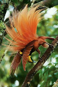 Bird of Paradise aka Bird of Happiness