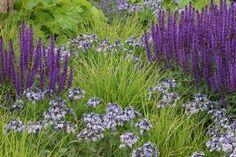 Sesleria autumnalis kombiniert mit Salvia nemorosa und Amsonia