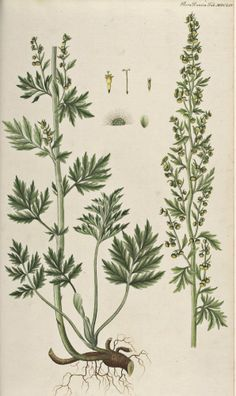 Wormwood, Absinthe - Artemisia absinthium - Medicinally Wormwood has been used to make a bitter tonic to stimulate appetite and improve digestion - circa 1754 www.swallowtailgardenseeds.com/herbs/wormwood.html#gsc.tab=0