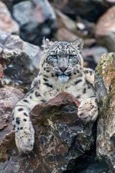 Snow Leopard by Andy McGarry on 500px
