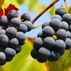"""Você sabia que a uva Tempranillo ganhou este nome graças ao termo espanhol """"temprano"""", que significa """"cedo""""?    Isso porque ela tem o tempo de amadurecimento bem mais curto que o de outras uvas, portanto se torna ideal para colheita mais cedo."""