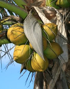 """Cocos Nucifera (coconut fruit water) extract (Coccin™) -   With a patented spray-drying process that protects the nutrients in Coconut, we're able to extract its """"juice,"""" which helps skin rehydrate and supports the growth of new skin cells."""