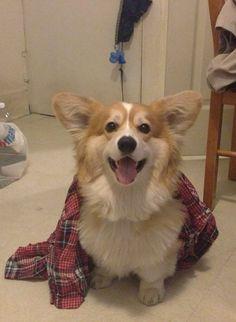 Lumberjack corgi, getting ready for work