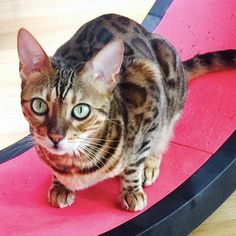 """one of our cutest cat, Stravyn, says """"Papa for the last time just because my wheel isn't moving doesn't mean I'm not using it!"""" One Fast Cat Exercise Wheel is the best way for your cat to exercise! Kittens Cutest, Cute Cats, Funny Cats, Cat Exercise Wheel, Unique Cats, Sleepy Cat, Kitty, Make It Yourself, Animals"""