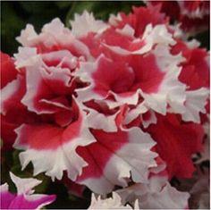 Garden Petunia petals flower seeds for garden petunia, 40 seeds