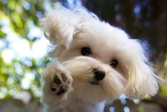 Louis the Maltese Photo wins American Humane Grand Prize | The Mark Rogers Pet Photography Blog