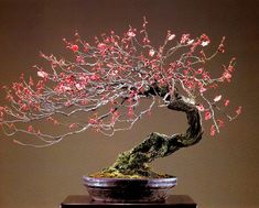 Prunus Mune (Japanese Apricot)   Aido Bonsai