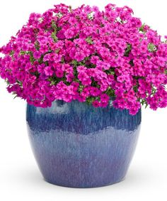 Marvel at the color of Intensia Cabernet Phlox from spring, through summer and into autumn. A mid height variety for hanging baskets or containers. #containergardeningideasforsun