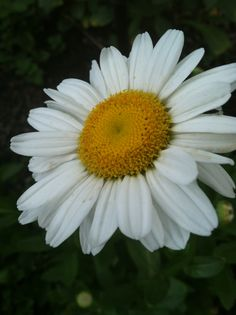 Such a perfect daisy. Right from my garden.