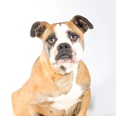 American Bulldog dog for Adoption in St. Louis Park, MN. ADN-590242 on PuppyFinder.com Gender: Female. Age: Adult
