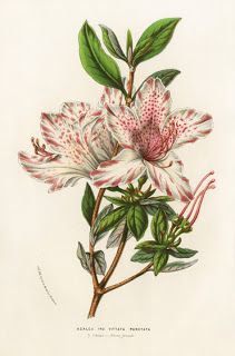 На крыльях вдохновения: Louis van Houtte Flore des Serres Singles 1858. Цветы. Старинные иллюстрации.