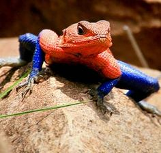 Image: An African Mwanza Flat-Headed Agama sports colors like Marvel superhero Spider-Man (© Cassio Lopes/Caters News)