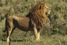 over een leeuw