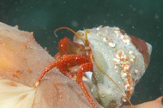 File:Hermit crab on sea cucumber.jpg
