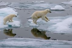 """Polar bears use the summer sea ice in the Arctic as a platform for hunting seals. But due to global warming, this specialized habitat is shrinking. Now listed as """"threatened"""" under the U.S. Endangered Species Act, the polar bear was the first species added to list because of the risk posed by global warming.   What Is An Endangered Species?   Kids Discover"""