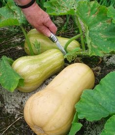 How to Grow Summer and Winter Squash #vegetable_gardening | Organic Gardening
