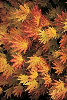 A vigorous Golden Full Moon Maple whose young coppery-orange spring and summer leaves mature to chartreuse. Rich orange fall color. Acer shirasawanum 'Autumn Moon' performs much better in heat and humidity than other selections of the species. Light afternoon shade is recommended, especially further south.