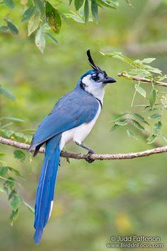 Calocitta formosa. Urraca Jay. Garganta Blanca. De Centro America.Se extiende en la vertiente del Pacífico bosque espinoso de Jalisco , México a Guanacaste , Costa Rica . Urraca-arrendajos son aves de ruidosas, gregarias.