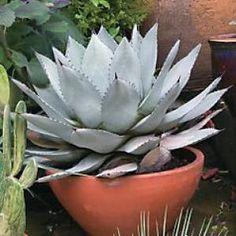 Silver Agave (Agave parri truncata)