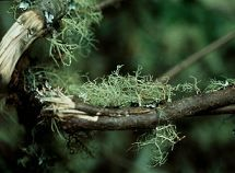 Usnea - immune system tonic - nourishing lichen - medicinal plant - Jessica Godino - Susun Weed