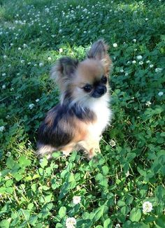 Chihuahua, long-haired. My goodness, it looks like a calico Chihuahua!
