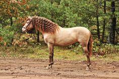 bay pearl - Pure Spanish Horse stallion Generico II