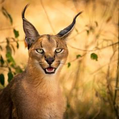 When you think of big cats, you think of the usual suspects: lions, tigers, and cheetahs. But there are other large cats that don't get as much attention as they should, as they're quite beautiful creatures. And one of those cats is the caracal. Such majestic animals!