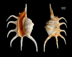 Orange spider conch - dorsal and ventral views of the shell of an orange spider conch (Lambis crocata), a species of sea snail that belongs to the true conch family. It is found in the western Indian Ocean and grows between 70 to 205 mm (2.8 to 8.1 in).
