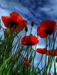 poppies against the big blue sky...