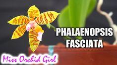 Orchid Identification - Phalaenopsis fasciata, a summer blooming species