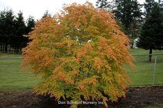 Image result for Acer palmatum 'Katsura