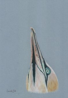 Northern Gannet 2021-01-05 Sarah J, Bird Drawings, Sea Birds, Looking Up, Art World, Painting & Drawing, Bird Paintings, Colours, Watercolor