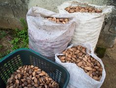 Mount Mayon Volcanic Pili Nuts are limited batch grown naturally and sustainably in the Philippine rain forest.