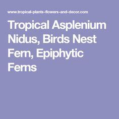 Tropical Asplenium Nidus, Birds Nest Fern, Epiphytic Ferns