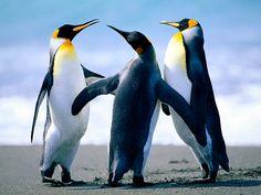 Baile de pingÜinos.....