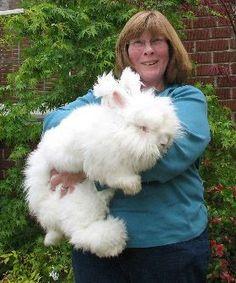 german angora rabbits - one very fluffy bunny Cute Baby Bunnies, Funny Bunnies, Cute Funny Animals, Cute Baby Animals, Animals And Pets, Giant Rabbit, Giant Bunny, Big Bunny, Bunny Bunny