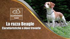 Arriva un cucciolo di Beagle... ecco cosa aspettarti DAVVERO