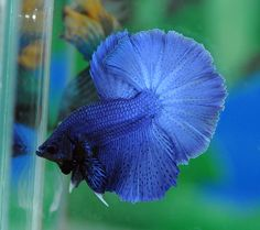 Halfmoon Betta Auctions - Fri May 15 2020 Betta Aquarium, Fish Aquariums, Betta Fish, Halfmoon Betta, Blue Dragon, Fish Tanks, Fish And Chips, Tropical Fish, Mini