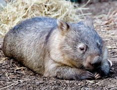 Wombat have a rest Cute Animal Photos, Animal Pictures, Cute Wombat, Cute Australian Animals, National Geographic Animals, Felt Animal Patterns, Australia Animals, Cute Funny Animals, Nature