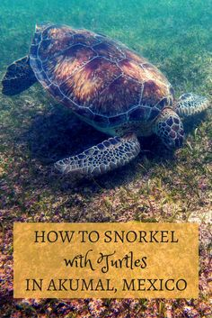 Snorkeling with turtles in Akumal, Mexico, is a very cool experience. Here's how…