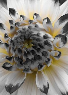 Glowing Dahlia by Bob Zuber