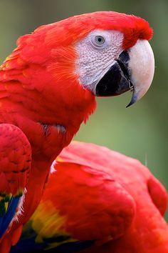 Guacamayo rojo, Lapa Roja - Scarlet Macaw (Ara macao)--COSTA RICA.
