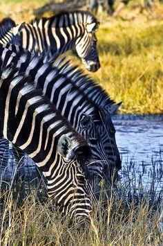 Zebras, Botswana Okavango Delta
