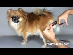 How To Groom A Pomeranian At Home - Makes Grooming your DOG easy! - YouTube