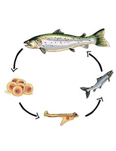 Pix For > Fish Life Cycle