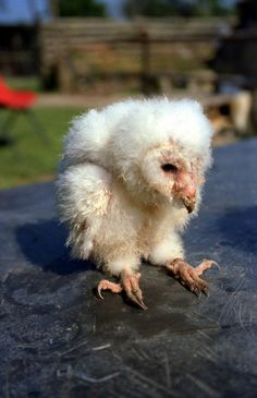 Edge Of The Plank: Cute Animals- Baby Owls