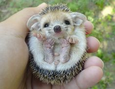 Baby hedgehog. I want one.