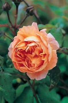 Austin's English Roses for the West Coast Lady Emma HamiltonLady Emma Hamilton Daffodil Flower, Cactus Flower, Rooting Roses, Peonies Garden, Flowers Garden, Orange Roses, Pink Roses, Flower Arrangements Simple, David Austin Roses
